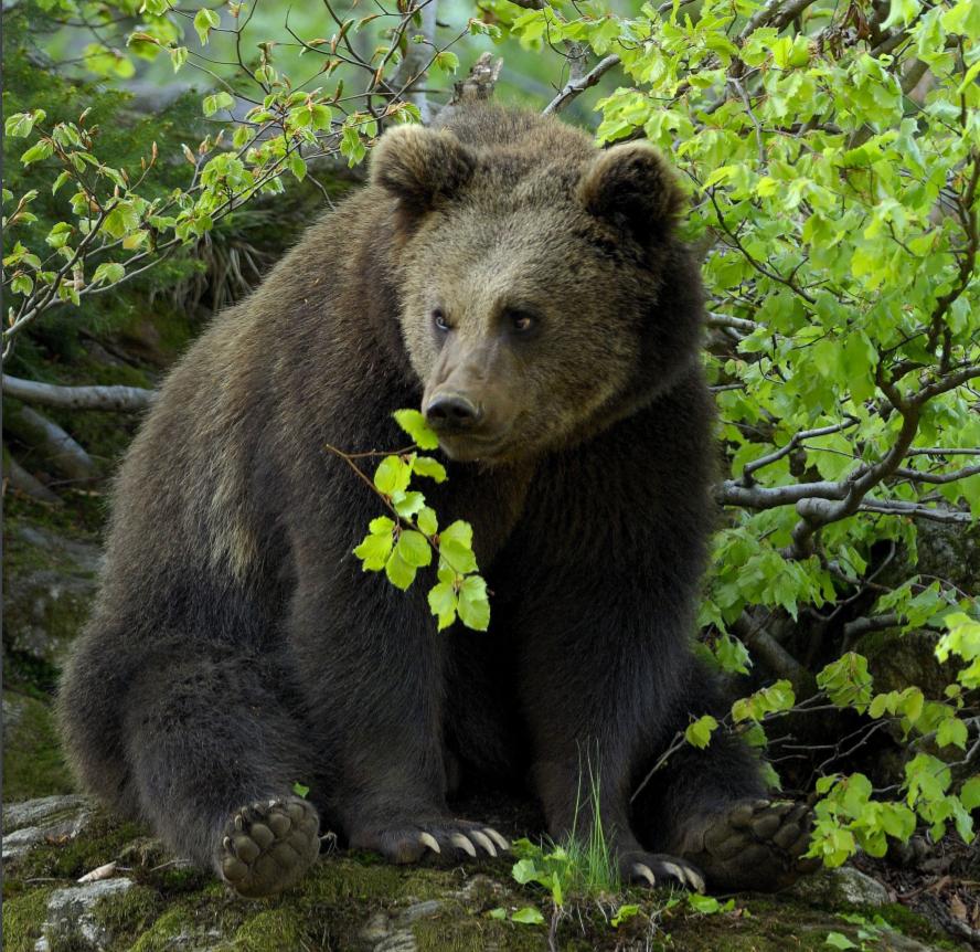 medved v naravi